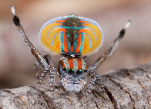 """Dance all you like tiny peacock spider, still wary. [via Jurgen Otto on Flickr under """"Some Rights Reserved CC licence 2.0]"""